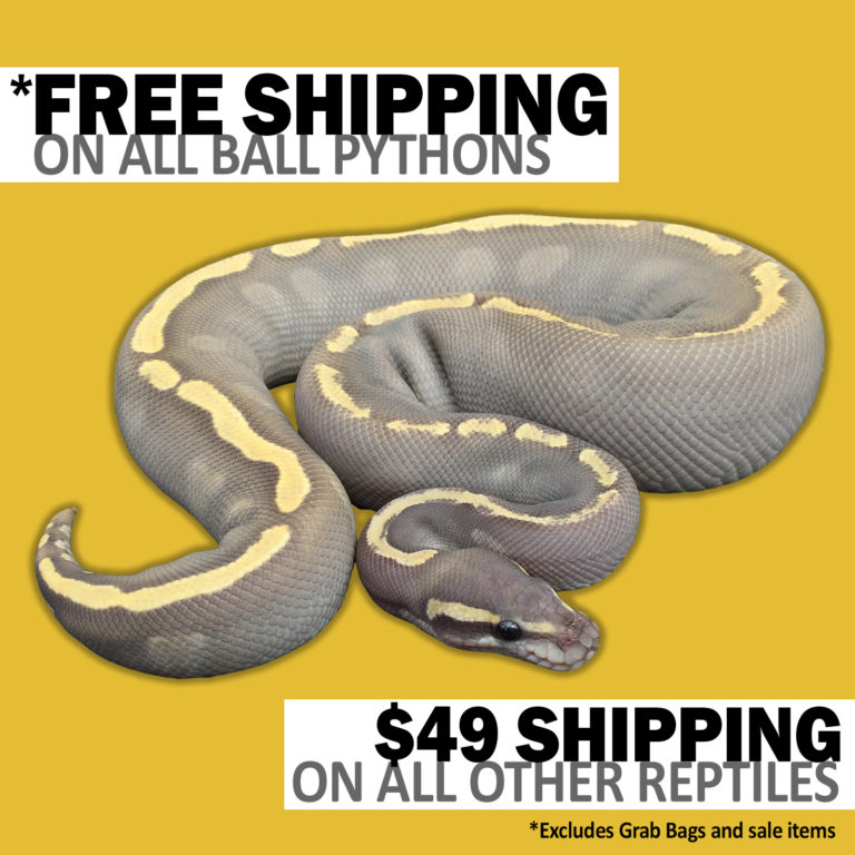 Best Price Ball Pythons For Sale - Dynasty Reptiles